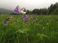 Midsommarängarna står i full blom. Foto: Linnea Nilsson-Waara.