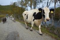 Sällskap på vår vandring av getter och kor.