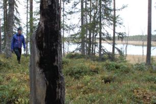 Rester från 2009 års medvetet anlagda skogsbrand. Brandljuden finns kvar i tallarna.
