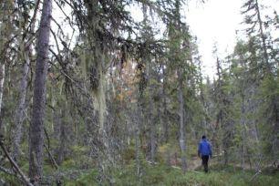 Urskogen innehåller massvis med lavar, vilka är fina gömmor av föda för lavskrikan.